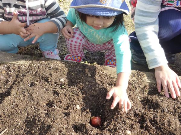 チューリップの球根植え